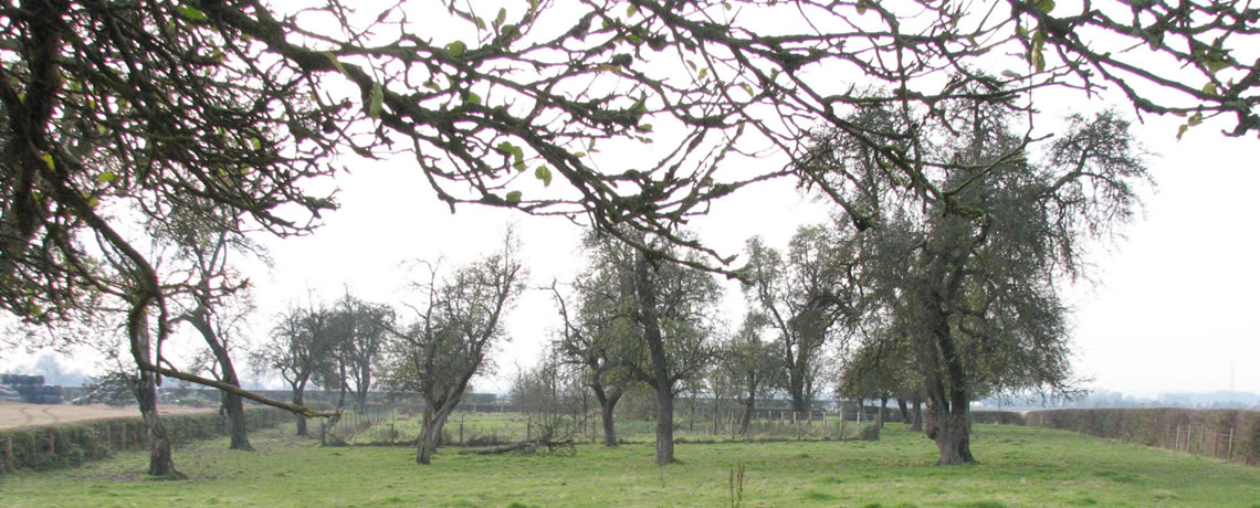 Ancient pear trees