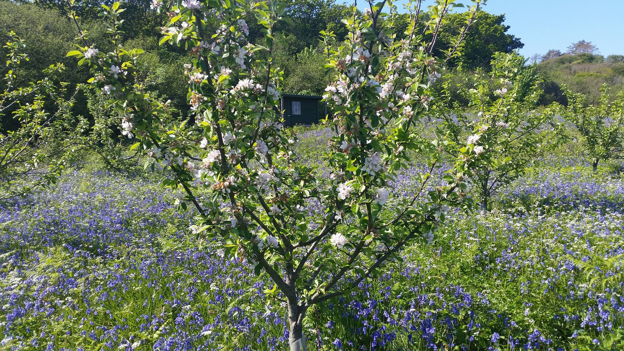 Image of a flowering apple tree with bluebells flowering underneath